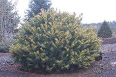 Pinus parviflora 'Himeko janome'