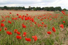 Poppies hold special meaning on Veterans Day --> http://www.hgtvgardens.com/flowering-plants/veterans-day-poppies?soc=pinterest