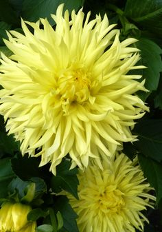 """Dahlia ' Promise' circa 1959 - Pastel yellow and with tubular fringed tips make this variety a superb choice for bouquets. Blooms are 4-5"""" across."""