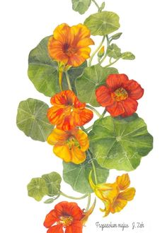 Janet Zeh Original Art Shop Watercolor and Oil Paintings: Nasturtium Botanical Painting - Tropaeolum majus Botanical Flowers, Botanical Prints, Art Floral, Floral Wall, Watercolor Flowers, Watercolor Paintings, Oil Paintings, Watercolor Landscape, Watercolor Paper