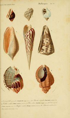 Dictionnaire universel d'histoire naturelle. v. 3 1849 - Atlas   (Zoologie-Botanique)  Paris