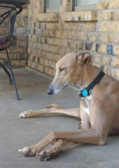Boone is taking a little siesta while he awaits his forever home!  #siesta #greyhounds #adopt