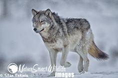 Gray Wolf in snow by Stan Tekiela on 500px