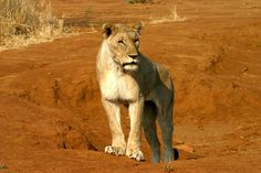 Lioness in Madikwe Game Reserve, South Africa | Flickr - Photo Sharing!