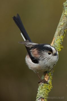 The Long-tailed Tit or Long-tailed Bushtit (Aegithalos caudatus) is a common bird found throughout Europe and Asia. There