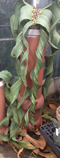 Welwitschia plant showing clearly it's - only ever -  two leaves.