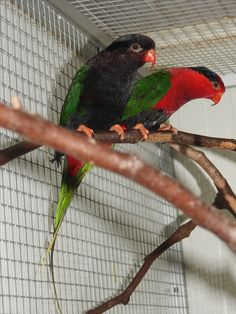 stella lorikeet, charmosyna s. goliathinae  photo from Iggino Van Bael