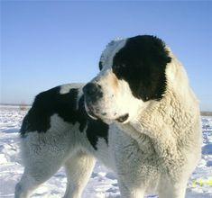 Armenian Gampr Dog
