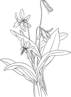 Click to see printable version of Trout Lily or Fawn Lily or Dog's Tooth Violet coloring page