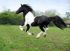 He's flying!!! WOW__Dream Gait's Bizkit - Baroque Pinto- Friesian/Dutch Warmblood