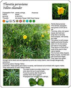 Trees, Flowers,Yellow, Thevetia peruviana,  Yellow oleander by Farelli Bali, via Flickr