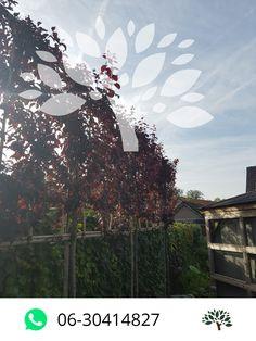 Voordelige leibomen bij Van Den Akker Bomen in Oirschot - Leiboomspecialist.nl Prunus, Peach