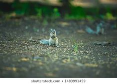 Explore 85 high-quality, royalty-free stock images and photos by ZAPPL available for purchase at Shutterstock. Royalty Free Images, Royalty Free Stock Photos, Stock Footage, Squirrel, Photo Editing, National Parks, Illustration, Artist, Animals