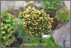 wbgarden dwarf conifers https://www.facebook.com/photo.php?fbid=10212448547357172&set=a.10210611805039762.1073741843.1486265823&type=3&theater