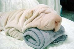 Pile of blankets or wrinkly dog?  I wouldn't have noticed it was a dog if the nosey wasn't showing!!!