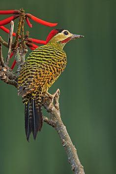 Foto pica-pau-verde-barrado (Colaptes melanochloros) por Frodoaldo Budke