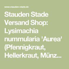 755558af0f8d0c Stauden Stade Versand Shop  Lysimachia nummularia  Aurea  (Pfennigkraut