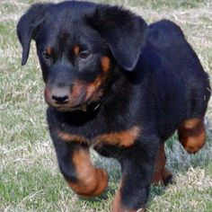 I want a Beauceron puppy #dogs #animal #beauceron