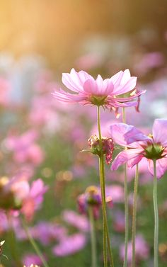 Cosmos Cosmos Flowers, Pretty Flowers, My Secret Garden, Flower Seeds, Nature Animals, Flower Photos, Floral Arrangements, Nature Photography, Beautiful Pictures