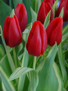 Tulip Cassini,Tulipa Cassini,Tulipe Cassini,Triumph Tulips, Red Tulips, Tulipes Triomphe, Mid late spring tulips