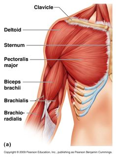 The Biceps Brachii - Muscle of the Month! Pectoral muscle anatomy of the chest and upper arm (pectoral muscle: any of the… loss plans women Chest Muscles, Shoulder Muscles, Thigh Muscles, Arm Muscle Anatomy, Muscle Diagram, Best Biceps, Bicep Muscle, Yoga Anatomy, Medical Anatomy