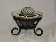 Gorgeous spiral cacti