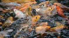 Dunia Cara Ternak Hewan - Peluang Usaha Sampingan: kiat sukses ternak ikan mas