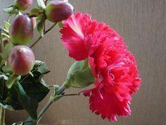 Fotos de claveles