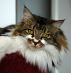 Maine Coon cats. This one looks very like my cat. They have serious c-attitude.