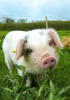Something about pigs... I love them. We raised pigs and they are intelligent, very good mothers and just sweet.