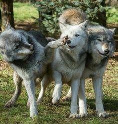 Wolf On The Loose In Berkshire After Escaping Conservation Sanctuary Wolf Photos, Wolf Pictures, Animal Pictures, Beautiful Wolves, Beautiful Dogs, Animals Beautiful, Animals And Pets, Baby Animals, Cute Animals