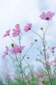 小小格桑花-长帆远扬 Cosmos Flowers, Wild Flowers, My Flower, Flower Power, What Do You See, Watercolours, Wall Design, Beautiful Flowers, Delicate