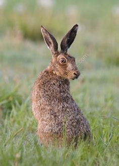 Google Image Result for http://www.iainbrownlee.com/images/Brown-Hare.jpg