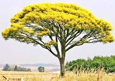 Resultado de imagem para guapuruvu árvores