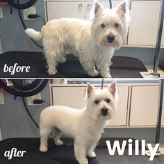 275 Best Before After Dog Grooming Photos Images On Pinterest