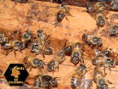 Desde finales de los años 90, apicultores de todo el mundo, sobre todo de Europa y América del Norte, han observado la misteriosa y repentina desaparición de las abejas, y han informado de tasas inusualmente altas de descenso en las poblaciones de las colonias de abejas melíferas.