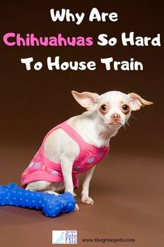How To Stop a Puppy from… #dogtrainingcourse Chihuahua Breeds, Chihuahua Puppies, Dog Breeds, Therapy Dog Training, Best Dog Training, Petsmart Dog Training, Leash Training, Agility Training, Toilet Training