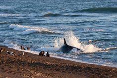 Orcas: se las puede observar entre los meses de Agosto y Abril en la zona de Caleta Valdés y Punta Norte. Chubut Patagonia Argentina.