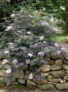 Looks more like a Japanese maple with lacy intense purple-black foliage but a whole lot easier grow. Massive lemon fragranced pink flowers in midsummer. Planting Flowers, Plants, Flowering Shrubs, Fine Gardening, Japanese Garden, Outdoor Gardens, Shrubs, Dream Garden, Trees To Plant