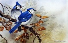 Artist Gamini Ratnavira Unframed Bird Print Blue Jay   WildlifePrints.com