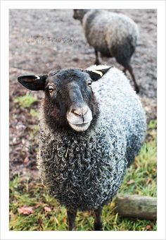 gotland sheep! I want these