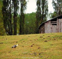 Bandurria en Loncopàn, Sur de Chile