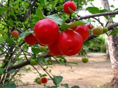 Acerola (Malpighia emarginata) is native to South America, southern Mexico, Puerto Rico, Brazil, and Central America. Common names include  Barbados cherry, West Indian cherry[2] and wild crepe myrtle..