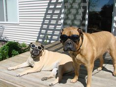 """Our Bullmastiffs """"Doggles"""".   Not only protection for their eyes, but they're Cool!"""