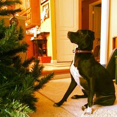 Watching us decorate the tree