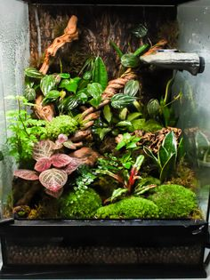 "Poster says: kkinetic: ""I got a bit moss-crazy on my planted vivarium. The crested gecko likes it though. Terrariums Gecko, Tree Frog Terrarium, Terrarium Tank, Snake Terrarium, Chameleon Terrarium, Crested Gecko Habitat, Crested Gecko Vivarium, Reptile Habitat, Reptile Room"