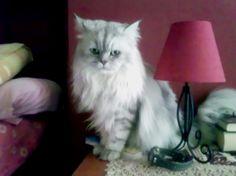 #persiancat #chinchillacat #gattichinchilla #gattipersiani #beautifulcats #gattibellissimi #RomeoilGattoPersiano #persianogrigio #silverpersian #cat12months
