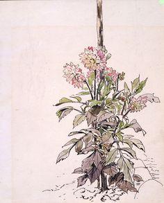 Botanical illustrations | V