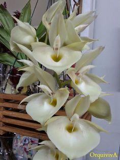 Catasetum Rebecca-Northen      Gênero de cerca de 166 espécies de orquídeas epífitas e flores masculinas e femininas da tribo  C...