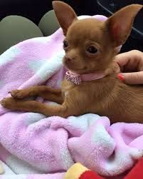 Image result for chihuahua #Chihuahua